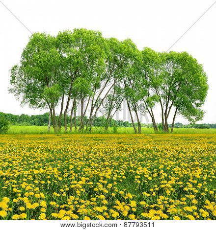 Trees on dandelion field isolated on white background