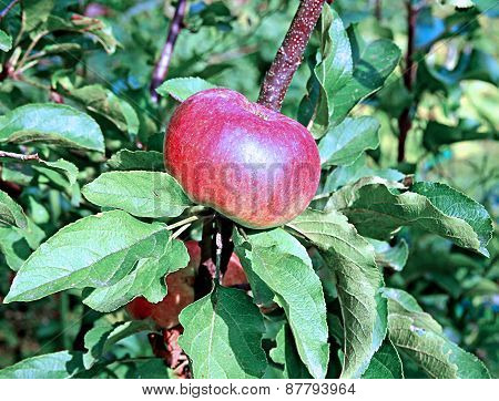 Red Juicy Apple On A Branch Columnar Apple Trees
