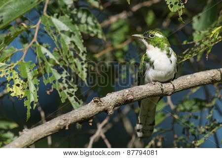 Klaas's Cuckoo (chrysococcyx Klaas) Perched In A Tree Infested With Caterpillars