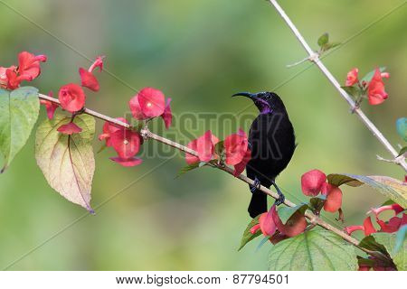 Black Sunbird (nectarinia Amethystina) Perched On A Flowered Covered Branch
