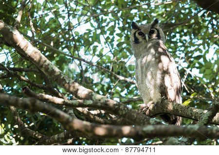 Giant Eagle Owl (bubo Lacteus) Perched In A Tree