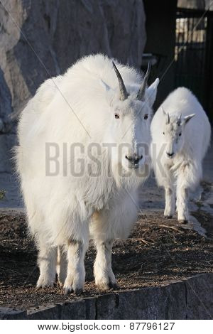 Mountain Goat  With Cute Baby Goat Cub
