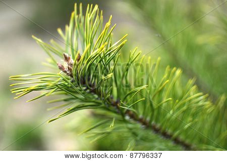 Green twig of conifer