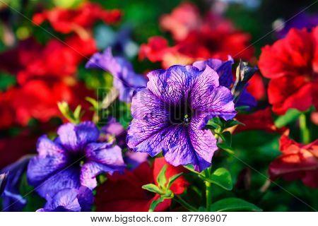Petunia Flower Closeup