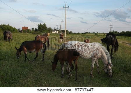 Horse herd pastures in Mozhaysk near Moscow, Russia.