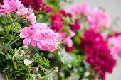 picture of geranium  - geranium flowers - JPG