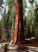 image of sequoia-trees  - Giant Sequoia redwood trees in Yosemite California - JPG
