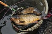 picture of christmas meal  - Live carps  - JPG