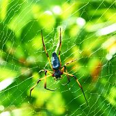 stock photo of orbs  - Giant wood spider  - JPG
