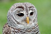 pic of hooters  - Closeup of the face of a barred owl Strix varia with the beak closed - JPG