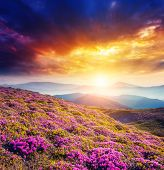picture of breathtaking  - Great view of the magic pink rhododendron flowers on the hill - JPG