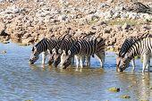 Постер, плакат: Zebras Drinking