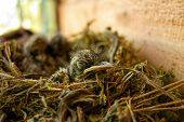 picture of baby chick  - Baby chicks of spotted flycatcher in their nest by the summer cottage wall in Nokia - JPG