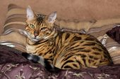 stock photo of bengal cat  - Cat Bengal breed - JPG