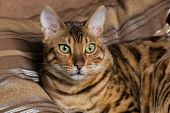 foto of petting  - Cat Bengal breed - JPG