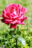 picture of rosary  - Rosa - JPG