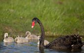 image of black swan  - Black swan mother with her cygnets in the lake - JPG