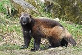 picture of wolverine  - Wolverine standing in the sun in its natural habitat - JPG