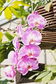 foto of orquidea  - A branch of pink orchid orchid in the garden