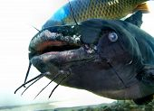 image of fish pond  - Image of a Very large catfish close up - JPG