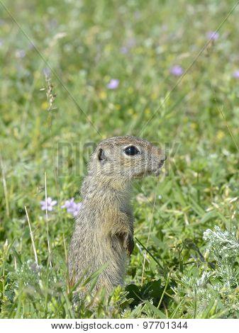 European ground squirrel / Spermophilus citellus
