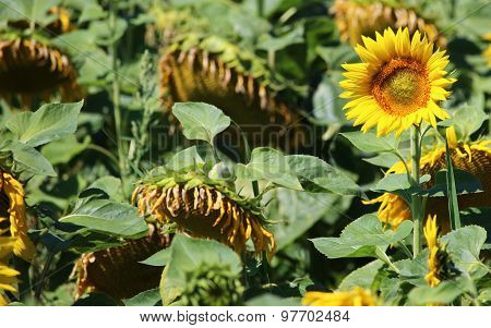 Beautiful Yellow Sunflower In Big Withered Field