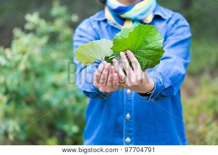 Girl Picking Coltsfoot Leaves For Drying