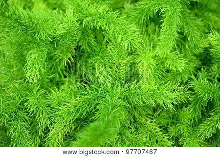 Asparagus Fern - Asparagus densiflorusem (Kunth) Jessop Green nature background
