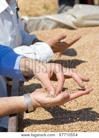 Wheat Grains In Human Palm