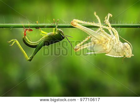 a weaver ants biting grasshopper larger than his size