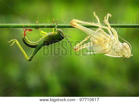 Molting grasshopper