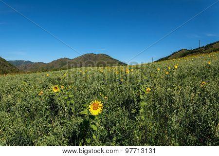 Oat Sunflowers Peas Field Mountains