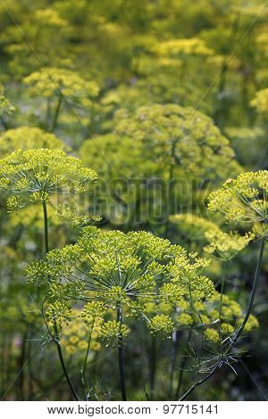 Field Dill Close-up