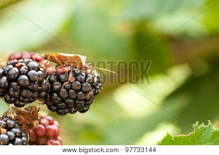 Macro image of brown shield bug crawling on a black-berry cluster on blurred green bokeh background