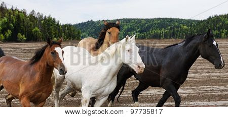 Beautiful Horses Galloping
