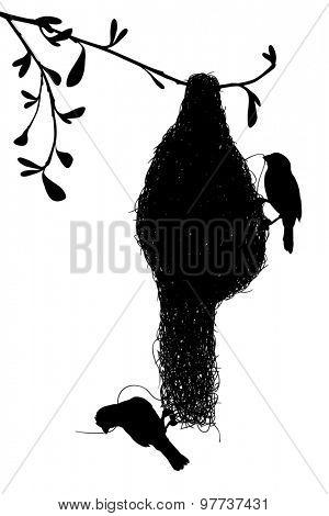 Silhouette of a pair of weaverbirds constructing their grass nest