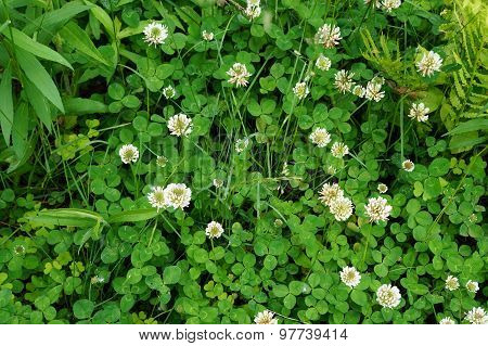 White Clover Plants