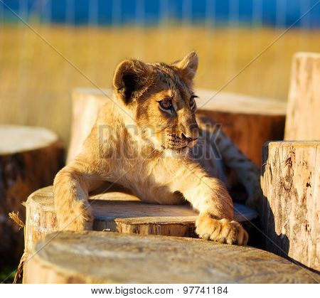 Lion cub in nature with blue sky and wooden log .