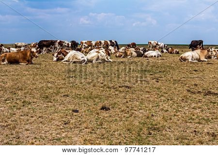 Cows Are Resting In A Meadow.