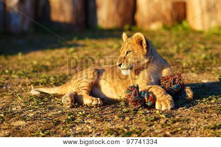 lion cub cuddling in nature and plaing with toy