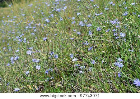 Chicory Plant.