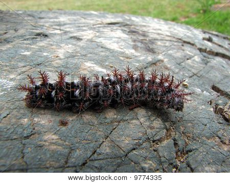 Caterpillar (oruga)