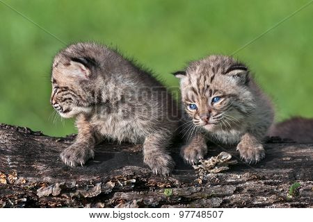 Two Baby Bobcat Kits (lynx Rufus) Sit On Log