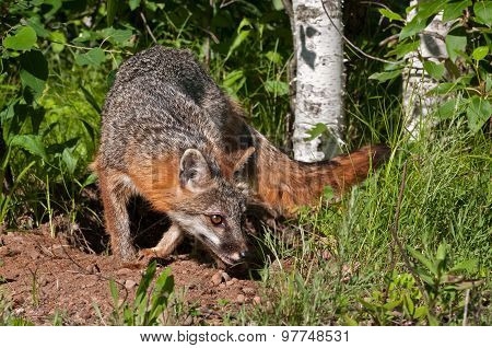Grey Fox Vixen (urocyon Cinereoargenteus) Makes Turn