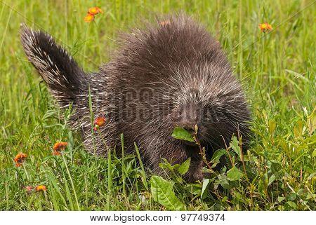 Porcupine (erethizon Dorsatum) Sniffs At Leaf