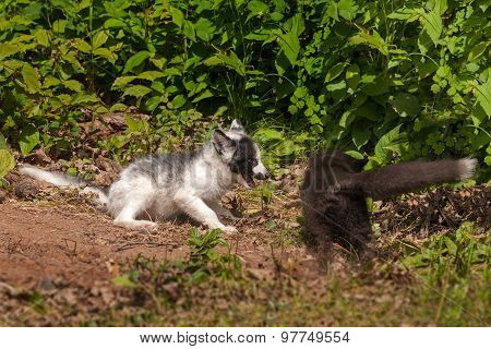 Young Silver Fox And Marble Fox (vulpes Vulpes) Play