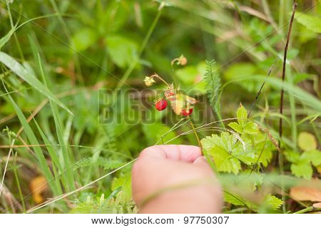 strawberries wild twigs and hand picking close up