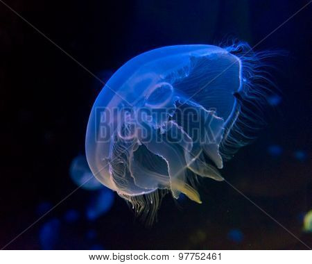 Moon jellyfish (Aurelia aurita) in an aquarium.