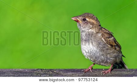 Young House Sparrows (passer Domesticus) With Leftovers On Its Beak After Eating Berrie