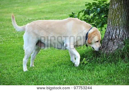Retriever Sniffs a Tree